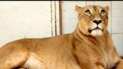 رئیس بیمارستان دامپزشکی: شیرهای باغ ارم بیمار نبودند، بیهوده کشته شدند