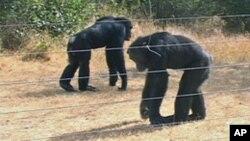 FILE - Chimpanzees in Sweetwaters Chimpanzee Sanctuary in Ol Pejeta, Kenya.