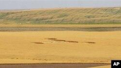 Lingkaran misterius di ladang gandum dekat Wilbur, Washington pada 30/7. (Foto: AP/The Wilbur Register)