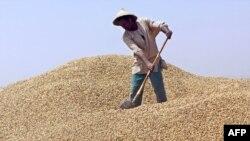 Un ouvrier arrange, le 22 mars 2005, un tas d'arachide au point de collecte de la SONACOS (Société nationale de commercialisation des oléagineux du Sénégal) de Lyndiane, à la périphérie de Kaolack.