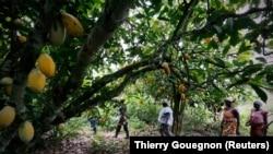 Des membres d'une association locale de cultivateurs de cacao appelée BLAYEYA marchent dans une ferme de cacao à Djangobo, Niable, dans l'est de la Côte d'Ivoire, le 17 novembre 2014.
