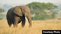 FILE - An African savanna elephant. (Julie Larsen Maher/WCS)