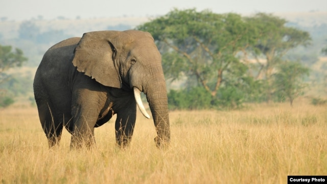An African savanna elephant. (Julie Larsen Maher/WCS)