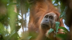 Quiz - Scientists Discover New Orangutan Species