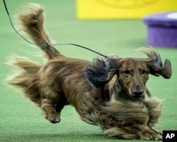 FILE - This Monday Feb. 12, 2018, file photo shows a dachshund during the 142nd Westminster Kennel Club Dog Show at Madison Square Garden in New York. The dachshund is among the top ten popular breeds for 2020. (AP Photo/Mary Altaffer, File)