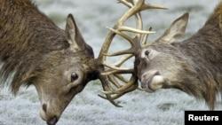 Dua ekor rusa saling mengaitkan tanduknya di Richmond Park, London Barat, Inggris (Foto: dok).
