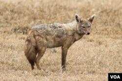 Seekor jackal atau serigala di Kawasan Konservasi Ngorongoro mengilustrasikan bagaimana rupa cursorial canid moderen. (Fotot: Daniel Montero López dan Borja Figueirido)