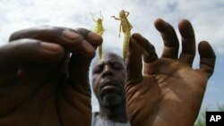 An African farmer holds up locusts that have descended on crops (file photo).