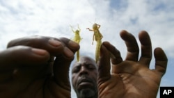 A farmer in Africa holds up locusts. State authorities in affected areas have called for help from Khartoum and the United Nations to fight swarms of locusts. (AP)