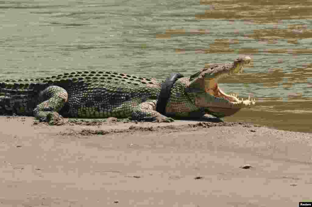 A crocodile with an old motorcycle tire around its neck on a river in Palu, Central Sulawesi province, Indonesia. Reports say the tire probably was garbage thrown into the river.