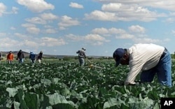FILE - In this June 1, 2011 photo, indigenous Mexican farm workers cut weeds in a cabbage field near King City, Calif. Many of the farm workers live in nearby Greenfield, where their large presence has caused tensions among the more established residents, many o