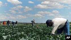 In this June 1, 2011 photo, indigenous Mexican farm workers cut weeds in a cabbage field near King City, Calif. Many of the farm workers live in nearby Greenfield, where their large presence has caused tensions among the more established residents, many o