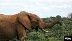 Tujuh gajah tewas di negarabagian Bengala Barat, India karena tertabrak kereta api barang (gambar ilustrasi).