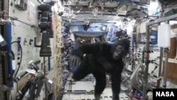 In this image from video made available by NASA on Tuesday, Feb. 23, 2016, astronaut Scott Kelly wears a gorilla costume in the International Space Station. (NASA via AP)