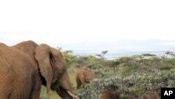 มดในเขตทุ่งหญ้าสะวันนาของอาฟริกาปกป้องต้นไม้จากช้าง