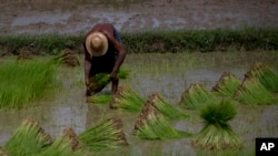 Myanmar Rice Farmers