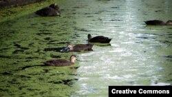Bèo tấm là nguồn thức ăn cho nhiều loại chim, cá và đặc biệt là vịt