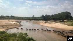 FILE - In this July 22, 2020, file photo taken by a drone in the Maasai Mara is the annual migration of wildebeest from the Serengeti National park in Tanzania to the Maasai Mara national reserve in Kenya.