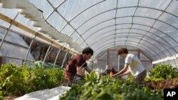 Ông Adam Schwartz, người xây dựng và trồng trọt tại EcoCity, đang cùng một người tình nguyện thu hoạch rau