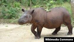 Badak Sumatera di Taman Nasional Way Kambas, Lampung (foto: Wikipedia).