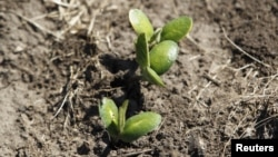 Recently planted soybean seedlings in a field near Estacion Islas in Buenos Aires province, Nov. 27, 2012.