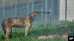 濒危的猎豹数量有所增加