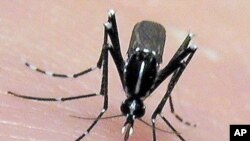 The Asian tiger mosquito may spread disease to new areas as a result of global warming. The mosquito breeds faster in warmer temperatures. (AP PHOTO/Jim Newman)