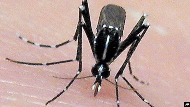 The Asian tiger mosquito, an invasive, disease-carrying pest, may spread to new areas as a result of global warming.  The mosquito breeds faster in warmer temperatures. It's a known carrier of the Chikungunya virus. (AP Photo/Jim Newman, University of Flo