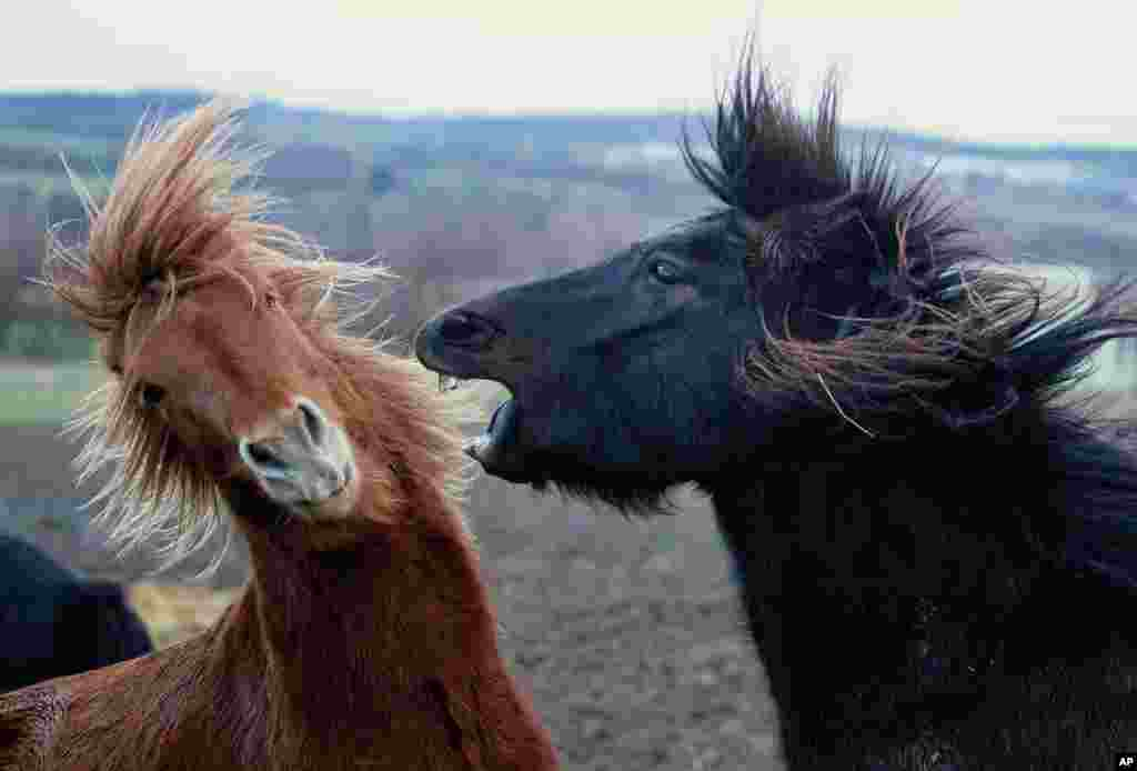 Icelandic horses play in Wehrheim near Frankfurt, Germany.