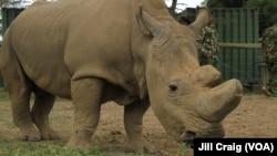 Sur les 1.338 rhinocéros tués dans le monde l'an dernier par des braconniers, 1.175 venaient d'Afrique du Sud.