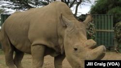 Sudan, poslednji mužjak belog nosoroga