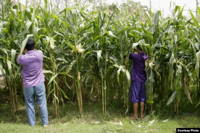 Pasien RSJ Dr. Radjiman Wediodiningrat sedang memanen jagung, mereka juga berhak mencoblos pada Pemilu 2019 (foto Istimewa).