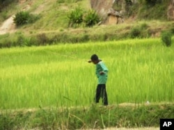 A boy works in a rice field in Madagascar. Cheap rice imports from Asia threaten traditional African rice varieties
