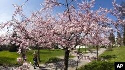 چیری کی بہار، واشنگٹن سفید اور گلابی پھولوں سے بھر گیا