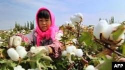 一名婦女在中國新疆哈密市的田野裡採摘棉花。 (2015年9月20日)