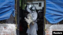 Member of a Rapid Response Team (RRT) culls a rooster at a poultry farm infected with the H5N1 bird flu virus in Bhaktapur Aug. 2, 2013.
