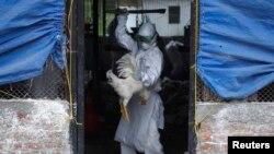 Un membre d'une équipe d'intervention rapide (EIR) abat un coq dans un élevage de volailles infectées par le virus H5N1 de la grippe aviaire à Bhaktapur 2 août 2013.