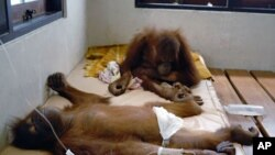A pair of orangutans receive medical treatment at the Nyaru Menteng Borneo Orangutan Survival (BOS) center in Palangkaraya, central Kalimantan (File).