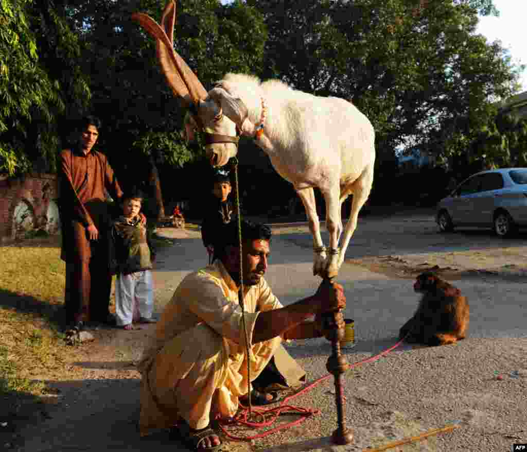 A Pakistani animal handler holds up a stick as a goat balances over it in Islamabad.