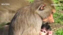 Рождение бабуина