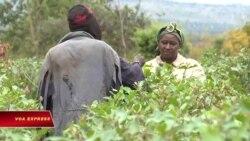 Nông dân Kenya đổi đời nhờ cây thuốc