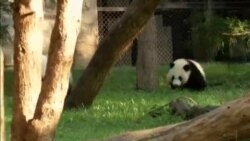 Giant Panda Surgery