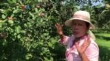 Kampung Amerika: Dadi Petani Buah nang Amerika