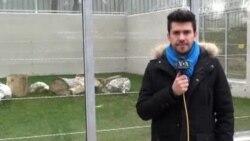 Sarajevo: Novi lavovi za Zoološki vrt