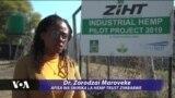 Mkulima Zimbabwe aeleza sababu za kuvutiwa kuotesha bangi