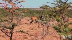肯尼亚设法制止野生动物和人类发生冲突