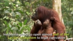 Orangutans are Deforestation Refugees