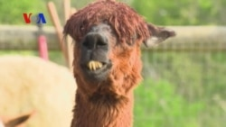 Alpacas: America's New Cash Cow? (VOA On Assignment June 13, 2014)