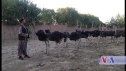 نخستین فارم شترمرغ در افغانستان