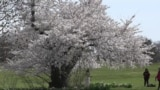 Cherry Blossoms Bloom at National Arboretum